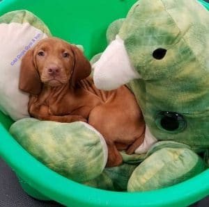 Vizla puppy resting with dog toy